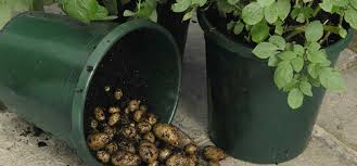 Patio Potato Planters How To Successfully Grow Potatoes In Containers