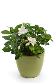 gardenias how to get more blooms and fragrance brighter blooms
