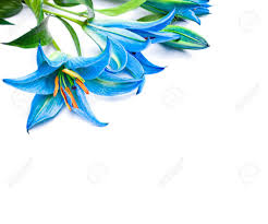 blue lilies blue lilies on the white background isolated stock photo picture