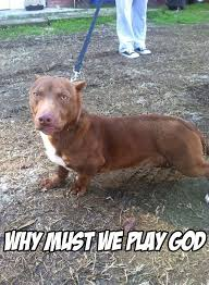 Dachshund Meme - that is cute and wrong at the same time pitbull head with dachshund