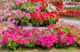 petunia flowers colorful petunia flowers on pots blossom in flower garden stock
