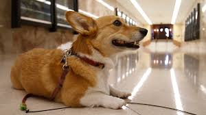 corgi sutter brown gov jerry brown u0027s famous dog has died la times