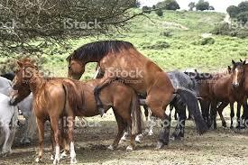 mustangs mating horses mating forest national park stock photo 476400485
