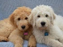 goldendoodle puppy virginia image gallery moyen goldendoodles