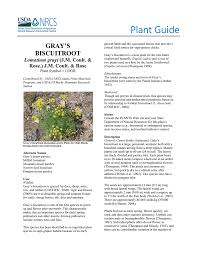 usda native plants plant guide gray u0027s biscuitroot