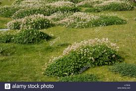 trifolium repens white clover lawn weed stock photo royalty free