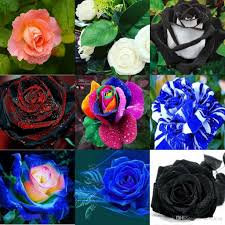wholesale roses wholesale new varieties colors flower seed 100 seeds