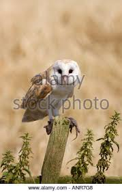 a barn owl tyto alba eating a common shrew sorex araneus stock