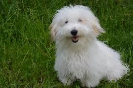 belgian shepherd hypoallergenic most popular hypoallergenic dogs best hypoallergenic dog breeds