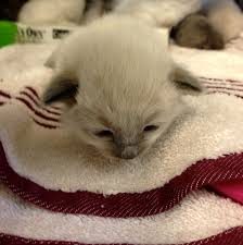 austin pets alive fosters are the kitten u0027s meow austin pets alive