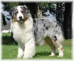 australian shepherd zucht deutschland australian shepherd zucht teltow ludwigsfelde luckenwalde