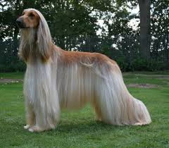 does an afghan hound shed why does the fur of a domestic pet tend to get tangled and