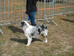 australian shepherd illinois scarecrow festival dogs photos costumes st charles illinois