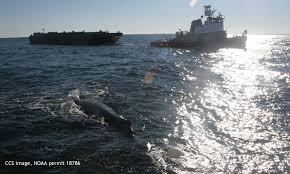 ccs responders disentangle humpback whale in cape cod bay center