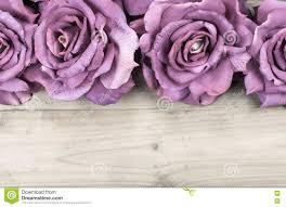 purple roses border purple roses stock photo image 75500880