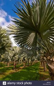 silver palm trees homestead florida foliage fields tree farm stock