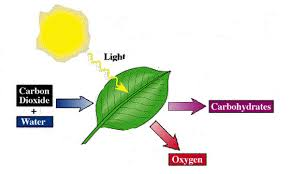which plant cell organelle uses light energy to produce sugar photosynthesis schools at look4