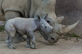 San Diego Zoo Safari Park Map by San Diego U0027s Baby Southern White Rhino Could Mean Scientific