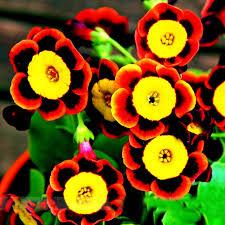 blooming flowers 200 pcs rare blooming flowers liesl tri color rare petunia annual