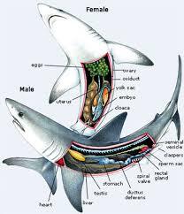digestive system korey s zoology tiger shark
