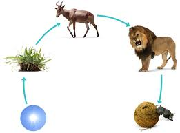 tiger food chain for kids