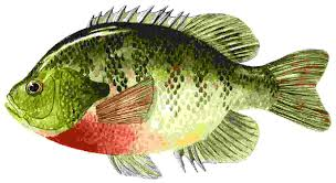 freshwater fish great clip art of freshwater fish clip art library