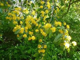 Yellow Pom Pom Flowers - a spring visit to the chelsea physic garden the enduring gardener
