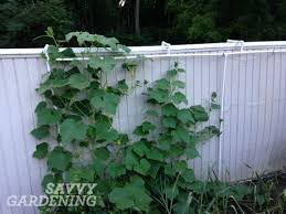Can Cucumbers Grow Up A Trellis Growing Cucumbers Vertically