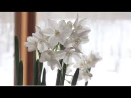paperwhite flowers how to grow paperwhites paperwhite flowers