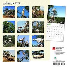 goats in trees 2018 12 x 12 inch monthly square wall calendar
