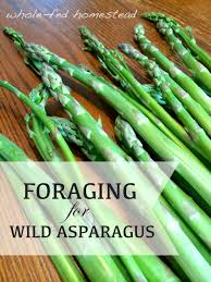 plants native to utah how to hunt and forage for wild asparagus whole fed homestead