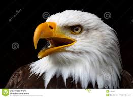 Bald Eagle And American Flag American Bald Eagle Stock Image Image Of Glory Free 2726897