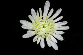 white flower white flower on black background free stock photo domain