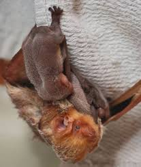 25 of the cutest bat species mnn mother nature network