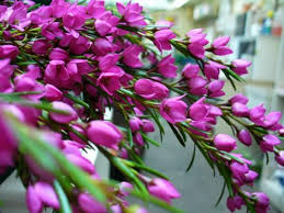 Discount Flowers Bulk Discount Flowers Pink Boronia Favorite Flowers