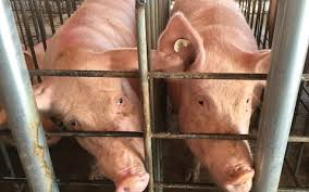 human pig embryos created by scientists in breakthrough for organ