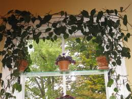 Cascading Indoor Plants by Pink Arrowhead Vine Syngonium Podophyllum To 4 Feet A Fast Growing