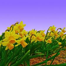 daffodil bulbs for sale online u2013 easy to grow bulbs