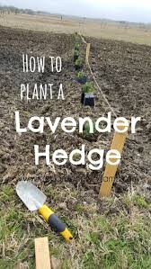 345 best landscape images on pinterest gardening flower how to plant a lavender hedge for a garden windbreak preparednessmama