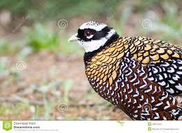 ornamental pheasant stock photo image 49914442