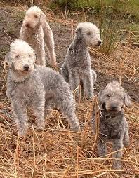 bedlington terrier stud working dogs pest control kirkbymoorside helmsley ryedale