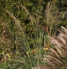 sporobolus wrightii hardy geraniums ornamental grasses and new