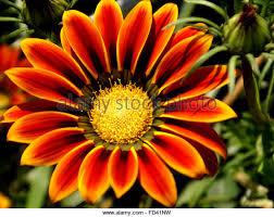 ornamental flower gazania stock photos ornamental flower gazania