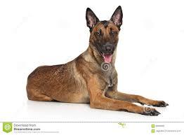 belgian sheepdog merchandise belgian shepherd dog malinois stock photo image 66089081