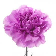 purple carnations two tone purple carnations flower muse