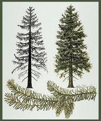 douglas fir tree clip library