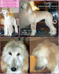 afghan hound arizona afghan hound puppies for sale cute monkey whiskers afghan hound