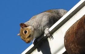 How To Hunt Squirrels In Your Backyard by Squirrel Chicken Pests How To Protect Your Chickens From