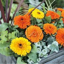 marigold flower seeds online marigold flower seeds for sale