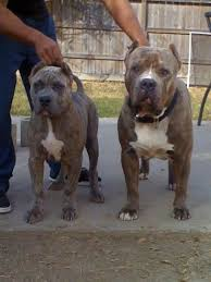 american pitbull terrier kennels in arizona blue pitbull puppies for sale from the best xxl blue pitbulls